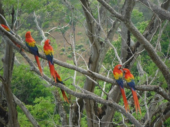 Hotel Punta Islita, Autograph Collection: Scarlet macaws at the Ara Project