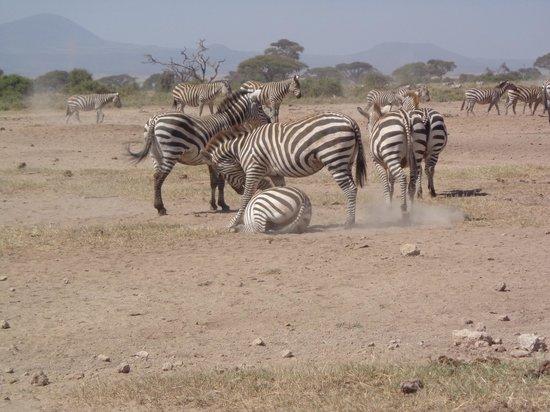 Tribe Hotel : Playing zebras
