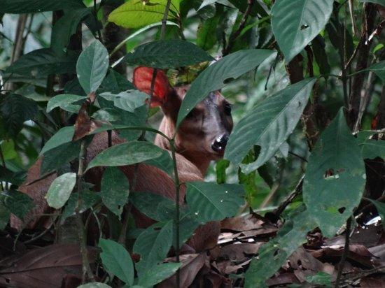 Napo Wildlife Center Ecolodge: red-backed deer
