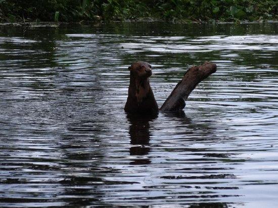 Napo Wildlife Center Ecolodge: giant river otter climbing the tree trunk