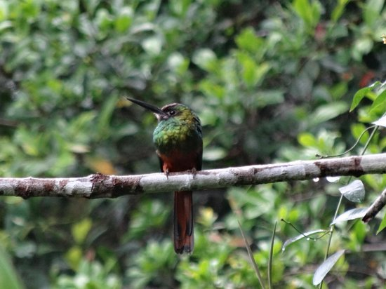 Napo Wildlife Center Ecolodge : jacamar
