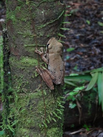 Napo Wildlife Center Ecolodge: rocket tree frog