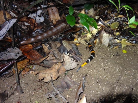 Napo Wildlife Center Ecolodge: fake coral snake