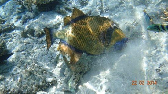 Robinson Club Maldives : Titan Triggerfish