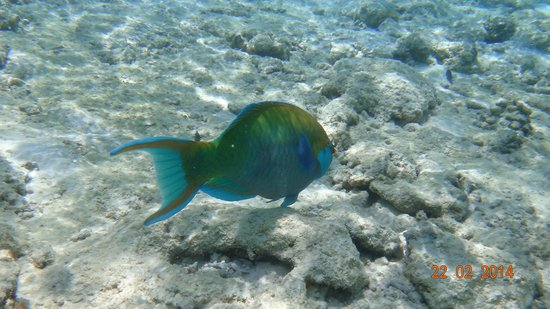 Robinson Club Maldives : blue parrotfish just in front of the camera
