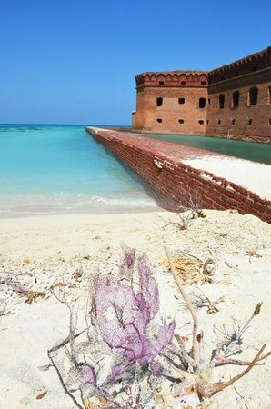 Dry Tortugas National Park: Fort Jefferson purple coral washed up ashore