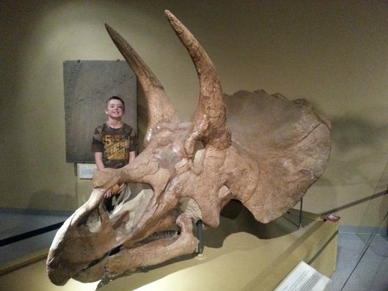 CU Museum of Natural History: Triceratops fossil