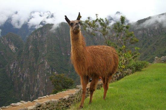 Há várias lhamas soltas em Machu Picchu