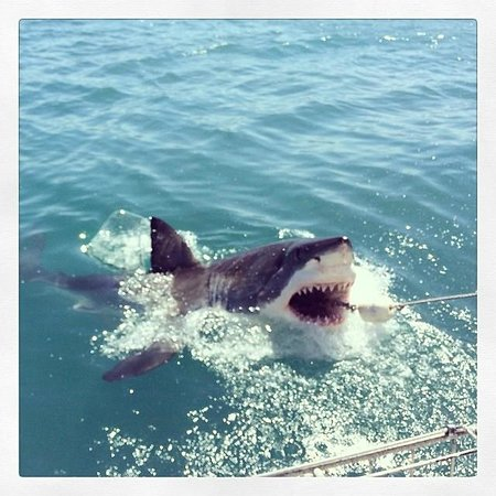 Great White Shark Tours: A shark