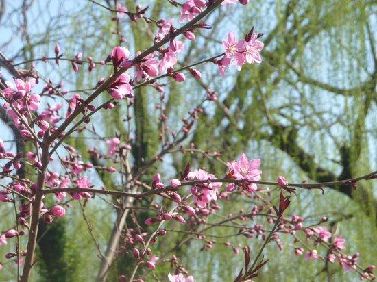 Baotu Spring Park: Cerisier