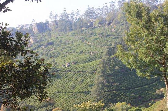 Club Mahindra Munnar: Tea estates