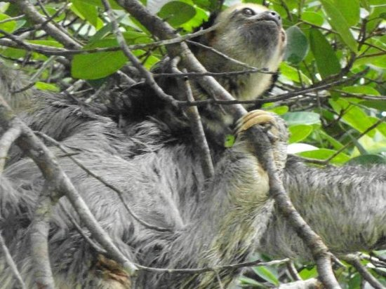 Amazon Ecopark Jungle Lodge: Sloth