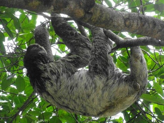 Amazon Ecopark Jungle Lodge: Amazon Sloth