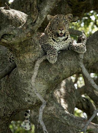 Offbeat Mara Camp: Leopard