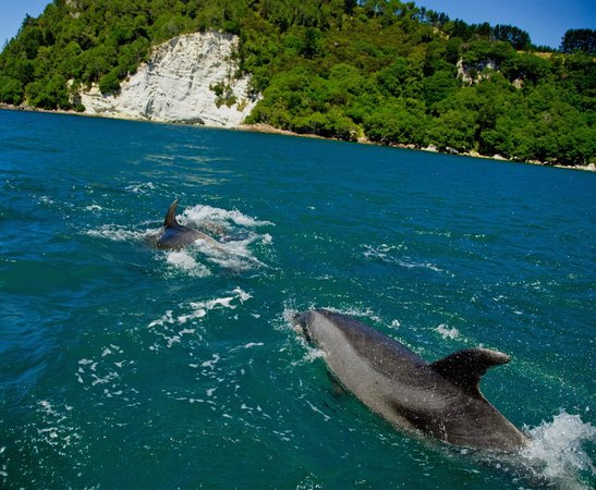 Cathedral Cove Scenic Cruises : Dolphins
