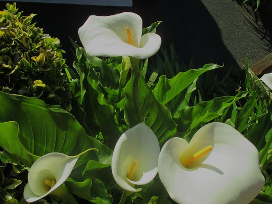 Crescent Beach Motel: They have lovely callas!