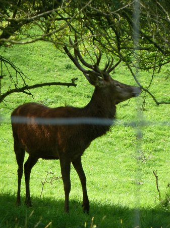 Broadway Tower: Stag in nearby field