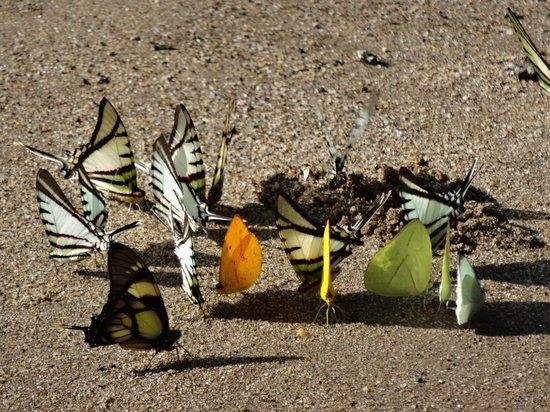 Huaorani Ecolodge: Butterflies licking minerals
