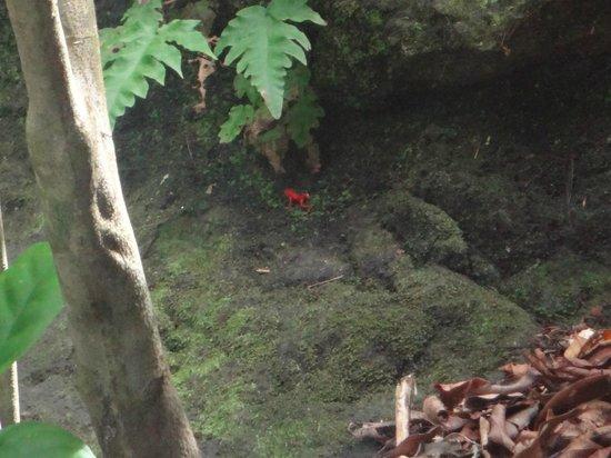 Parque Nacional Marino Isla Bastimentos : la pequeña rana rojita