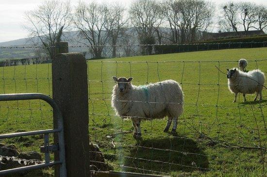 Garron View: Friendly sheep beside the house