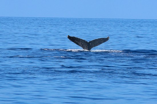 Ocean Sports Whale Watch Adventure : Humpback whales on our Ocean Sports Breakfast with Whales Cruise