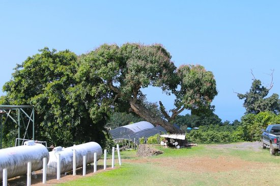 Monkey Pod Tree Greenwell Farms