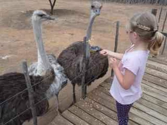 Safari Ostrich Show Farm : And you can feed the Ostriches!