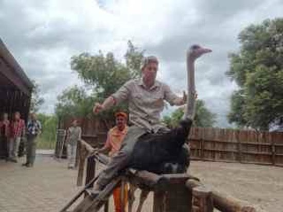 Safari Ostrich Show Farm: And there off and racing ... (yes, you can sit on them!)