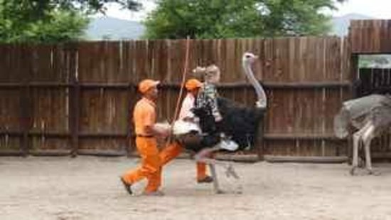 Safari Ostrich Show Farm: If you are a small person you can even get to ride them.
