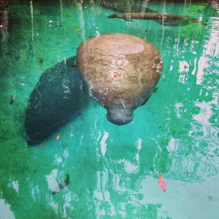 A Crystal River Kayak Company: Manatee during kayak trip