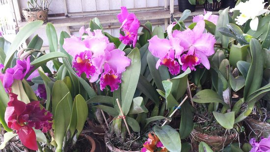 Khamthiang Flower Market: Catleyas