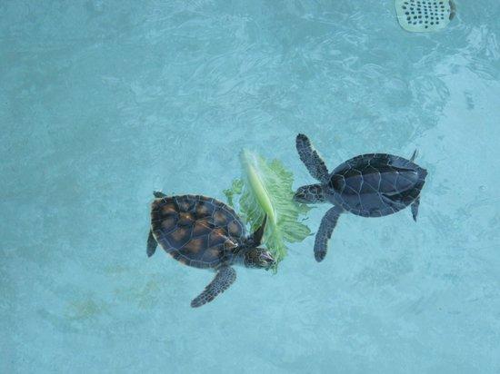 Xcaret Eco Theme Park: Sea turtles