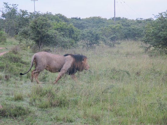 Lalibela Game Reserve : King of the jungle!