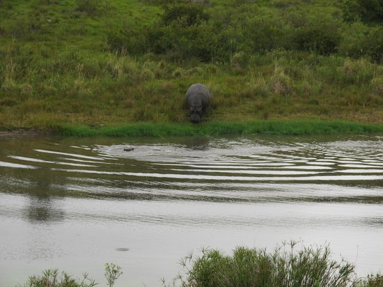 Lalibela Game Reserve : Rare Hippo out of water sighting!
