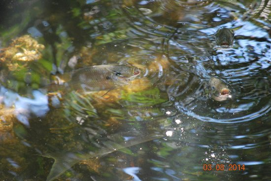 Tampa Electric Manatee Viewing Center : Fish off the boardwalk