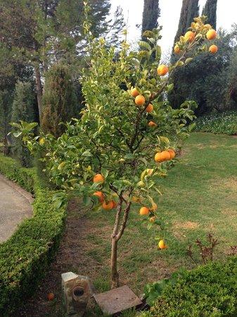 Hotel La Fuente De La Higuera: orange tree in early blossom (march)