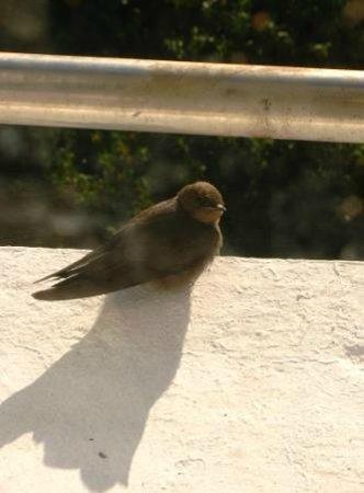 Munnar Inn: A visitor, sunbasking 'dusky crag martin'
