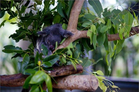 Bungalow Bay Koala Village: коала