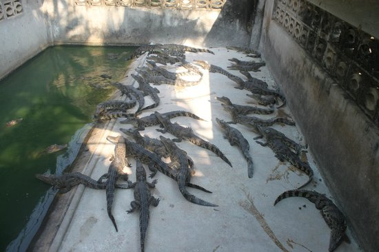 Battambang Crocodile Farm