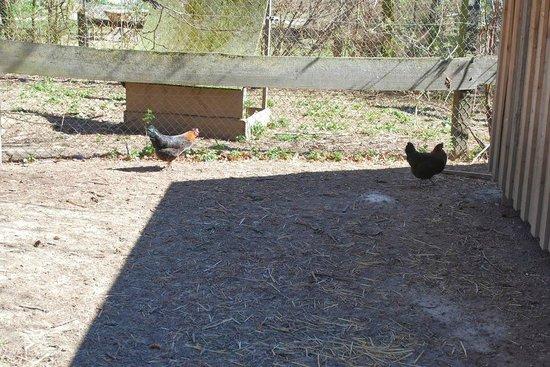 Herrmannsdorfer Landwerkstätten: chickens in the barnyard