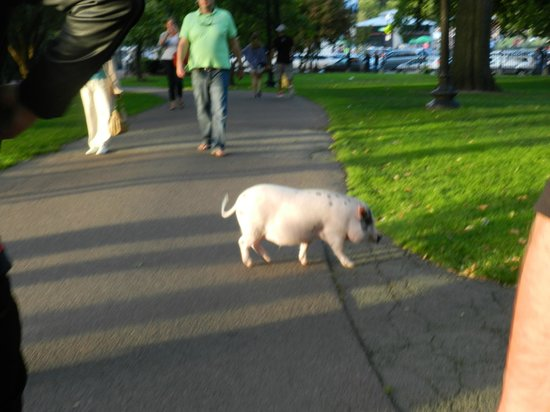 Fairmont Copley Plaza, Boston: Pig in the park (dont worry he had an owner)