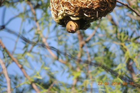 Dungbeetle River Lodge: Webervogel