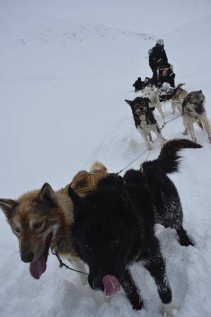 Svalbard Husky: Excited Huskies