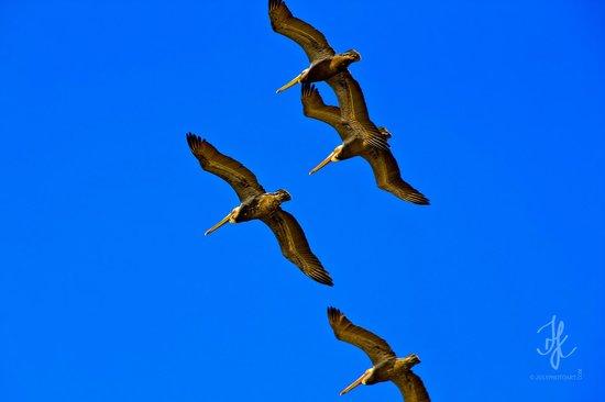 Пеликаны (Laguna Beach )
