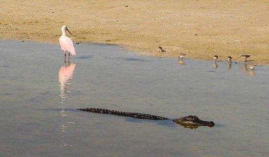 "J.N. ""Ding"" Darling National Wildlife Refuge: Alligator and Spoonbill sharing space."