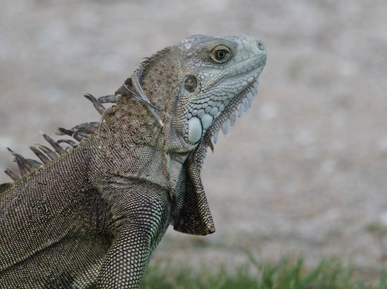 Gran Melia Golf Resort Puerto Rico : iguana