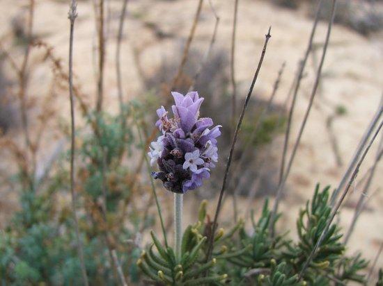 La Azohía, España: Wild Lavender at St Elena Tower La Azohia