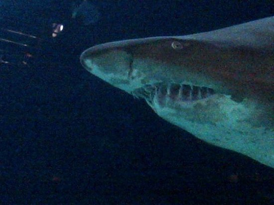 """Cargo Hold Restaurant: Ragged tooth shark -- affectonately known as """"Raggies"""" here"""
