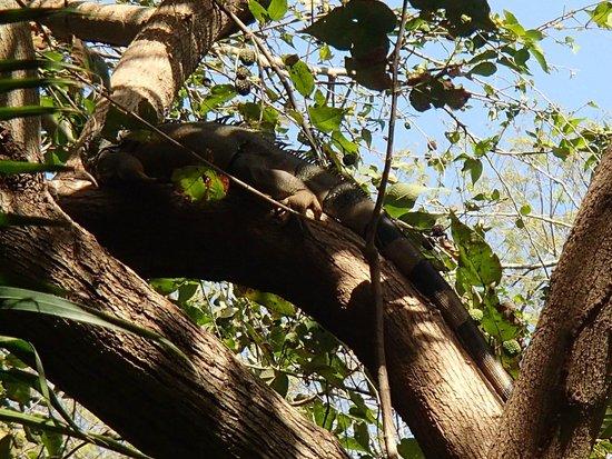 Grand Palladium Vallarta Resort & Spa: Iguana on the grounds