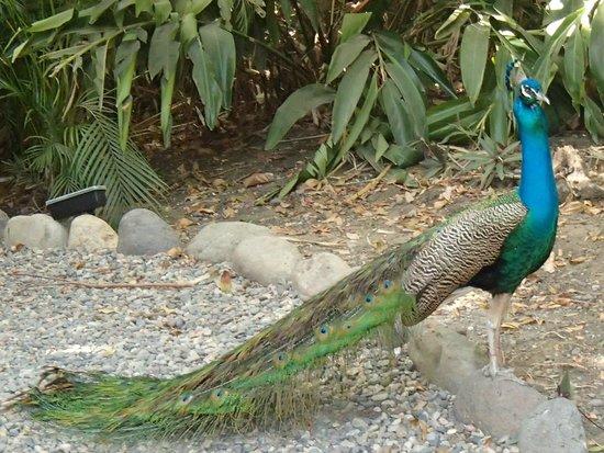 Grand Palladium Vallarta Resort & Spa: One of several resident peacocks
